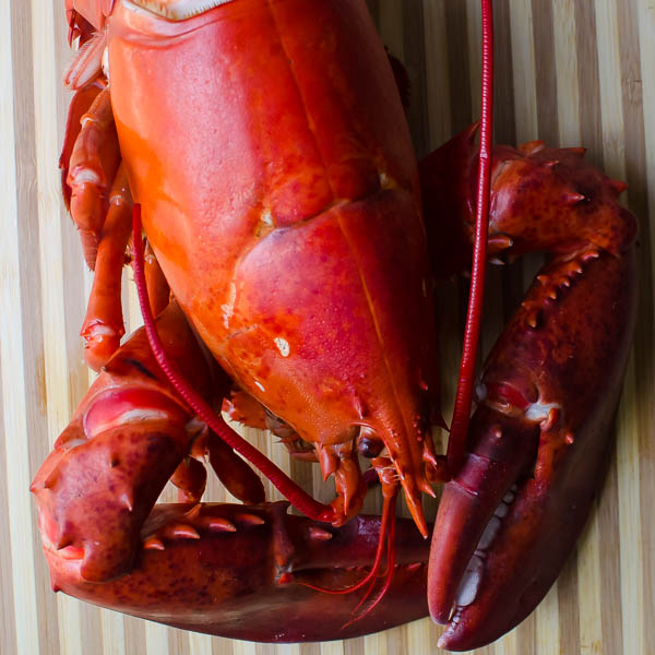 cooked maine lobster