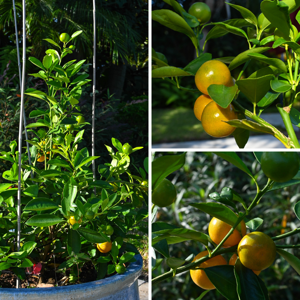 calamondin orange trees in my back yard.