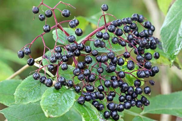 Elderflower berries on a tree.